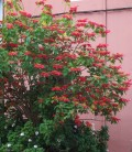 Poinsettia - a flower for Christmas that grows in Tenerife