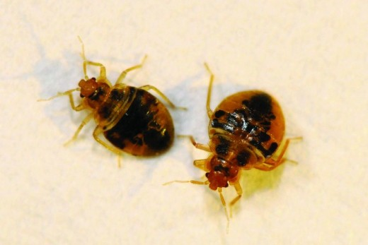 Most people do not want to share their beds with bedbugs.