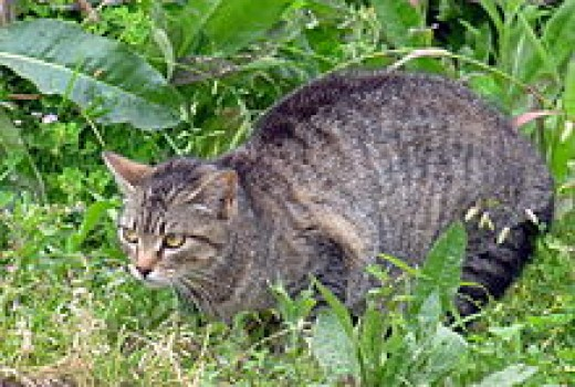 A feral cat is a descendant of a domesticated cat that has returned to the wild. It is distinguished from a stray cat, which is a pet cat that has been lost or abandoned, while feral cats are born in the wild; the offspring of a stray cat can be...