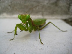 The Mantis - A Very Special Insect