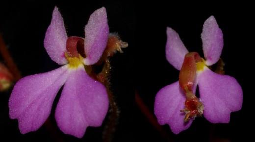 Stylidium turbinatum flowers.  Untriggered (left) and triggered (right).