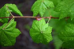 Umbrella Leaves from GaliWalker Source: flickr.com
