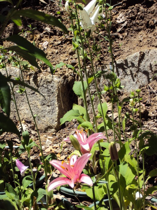 Pink star gazer lily.