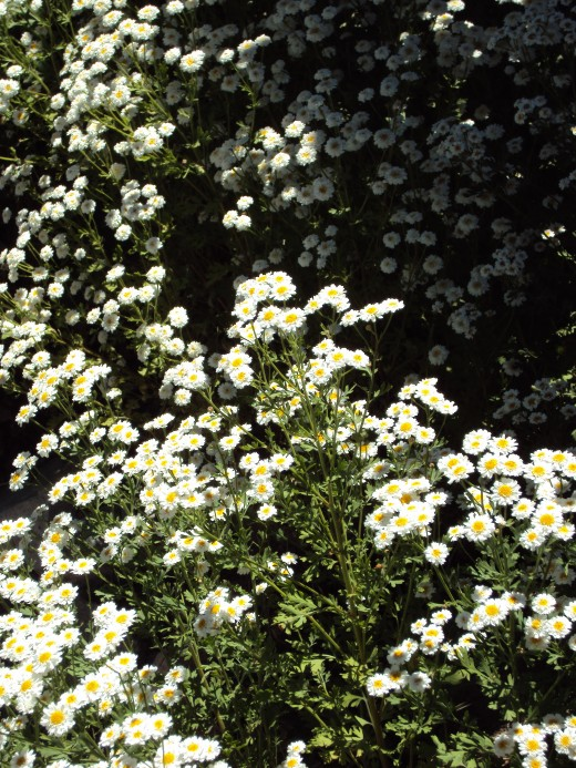 Feverfew is a flower that is also known by the botanical name Chrysanthemum parthenium.