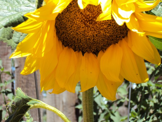 The sun flower is a vibrant spherical shape like its namesake.  Its petals compete with the beauty of the rays of the sun.