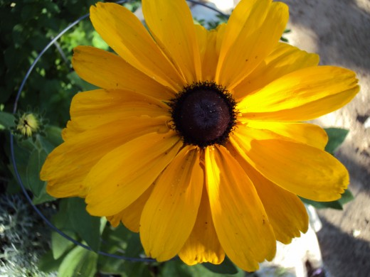A close-up of a black-eyed Susan flower.