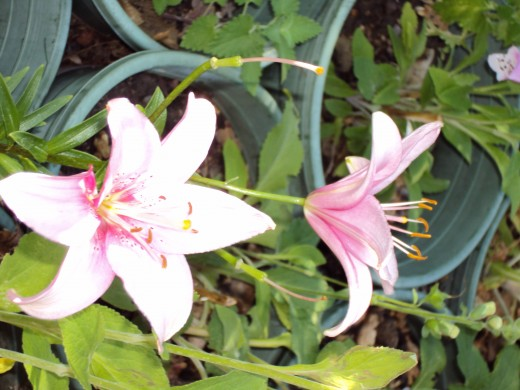 Two stargazer lilies in the garden.