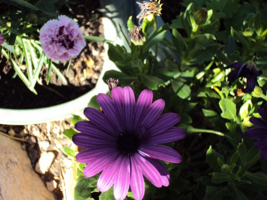 A pretty little purple flower in the garden.