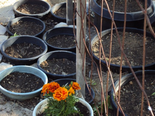 The marigolds are one of the first plants to be planted in these containters.