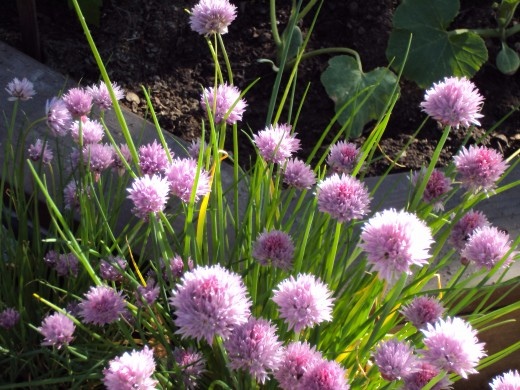 Light purple chive flowers.