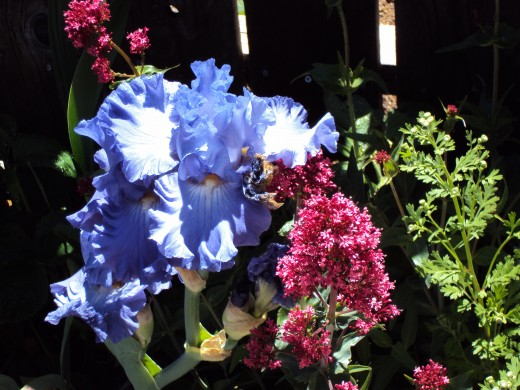 The iris is light purple.