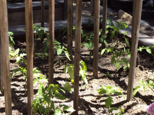 Sunlight on the leaves of the tomato plants.