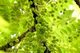 Indian Gooseberry (Amla)