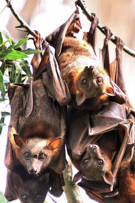 Bats, they may actually be watching you.  These cute little guys are called Little Red Flying Foxes (Pteropus scapulatus).