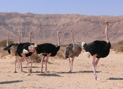 Big birds, plenty of sand, distinct lack of head burying.