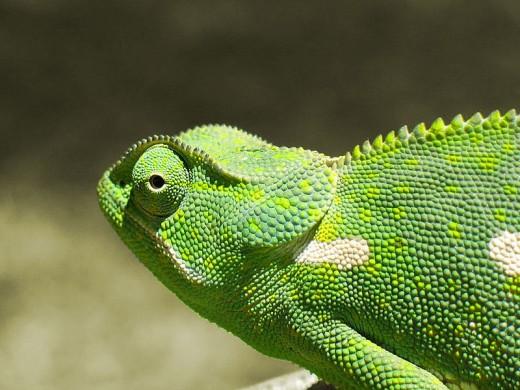 A Flap-Necked Chameleon (Chamaeleo dilepis).