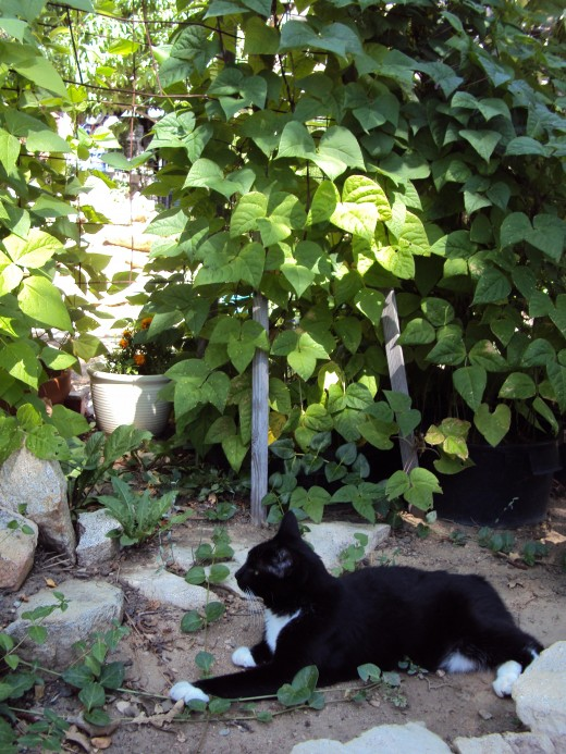 Annie cat resting near the green bean vines.