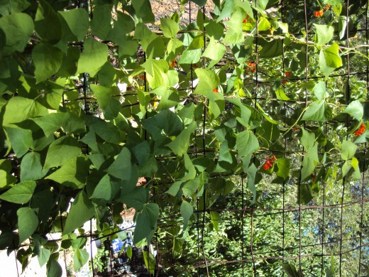 Green beans are climbing up the nets.