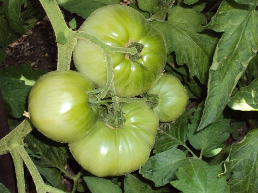 A cluster of large tomatoes.