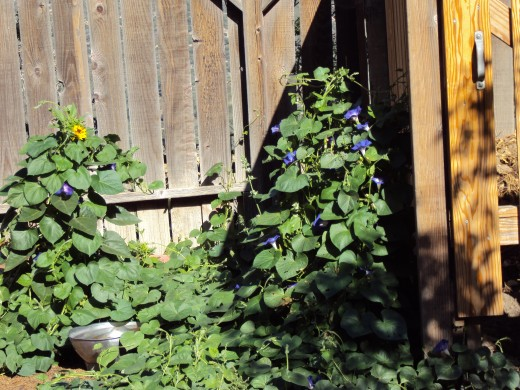 The prolific blooms of morning glories on the vine.