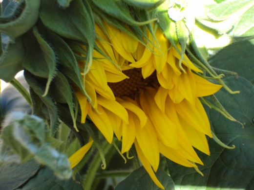 The sunflower on the cusp of blooming.