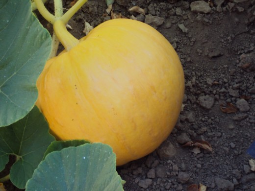 A pumpkin is growing on the vine.