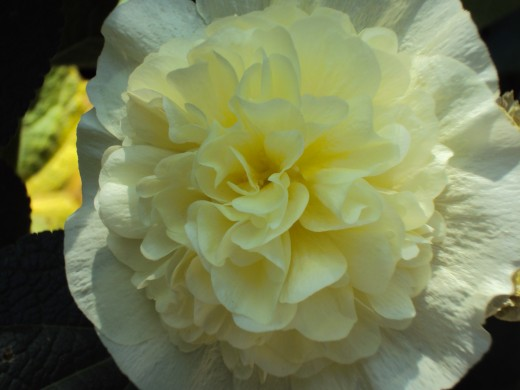 Closeup of the creamy rose.