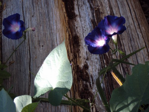 Two morning glories next to the fence.