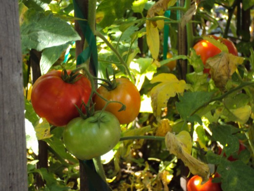 Vibrant tomatoes will make tasty meals one day soon.