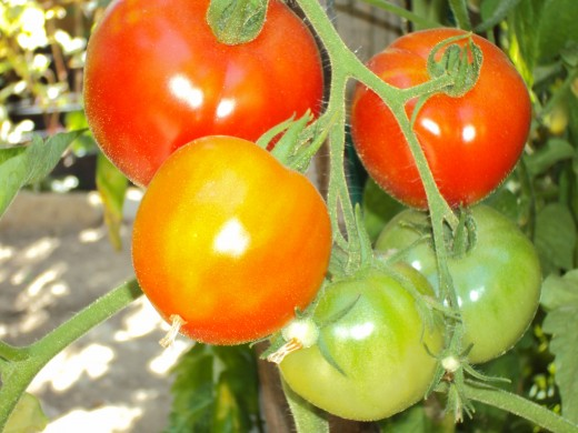 The tomatoes are beginning to turn red.