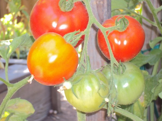 Tomatoes on the vine are great for homemade pasta sauces.
