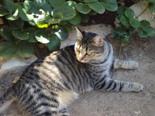 Sweety cat luxuriates in the garden.