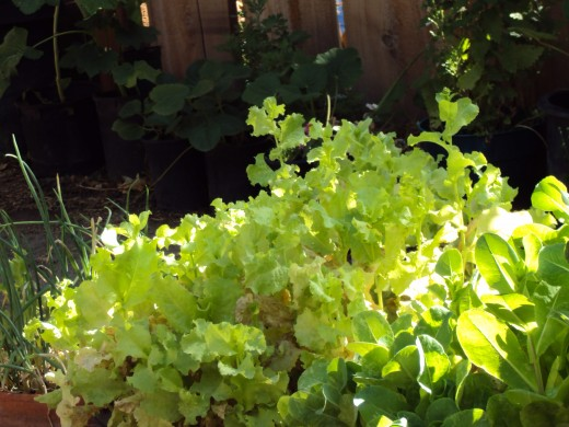 Lettuce for a garden salad.