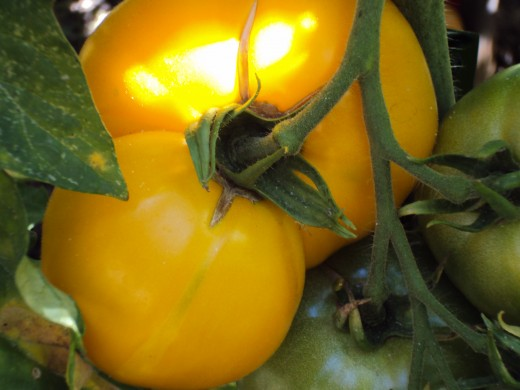 The ripening tomato has an interesting shape.  It will be red once it is ready to eat.