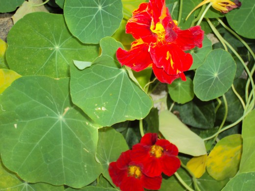 Red nasturtiums in the garden.