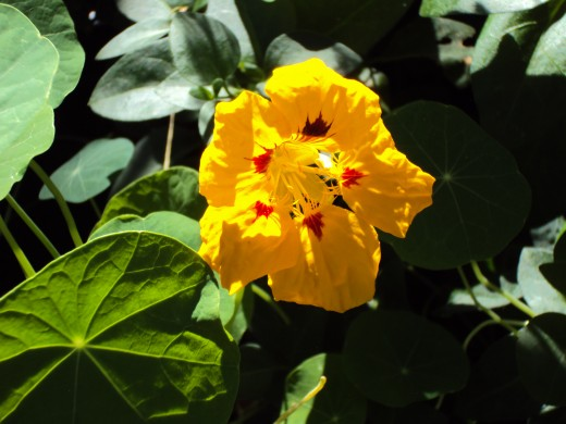 Yellow nasturtiums in the garden.