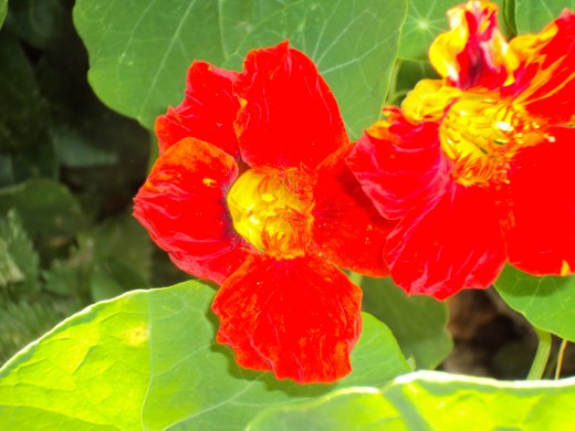 Closeup of red nasturtiums.