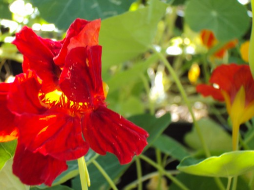The red nasturtium will make a spicy accompaniment to a garden salad.