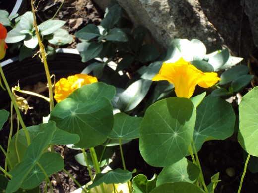 Yellow nasturtiums are ready to be picked for a salad.