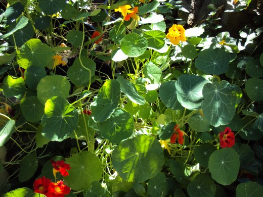 Vibrant combination of nasturtium flowers.
