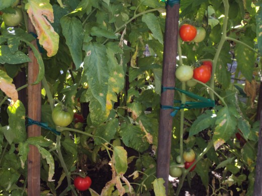 Tomatoes are growing on the vines for delectable sandwiches and salads.