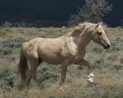 Pryor Mountain Mustang