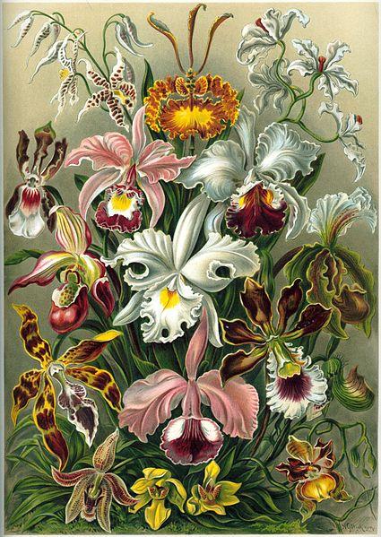 Orchids colour plate from Ernst Haeckel's Kunstformen der Natur.