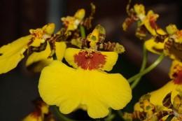 Orchid flowers from Oncidium varicosum species.