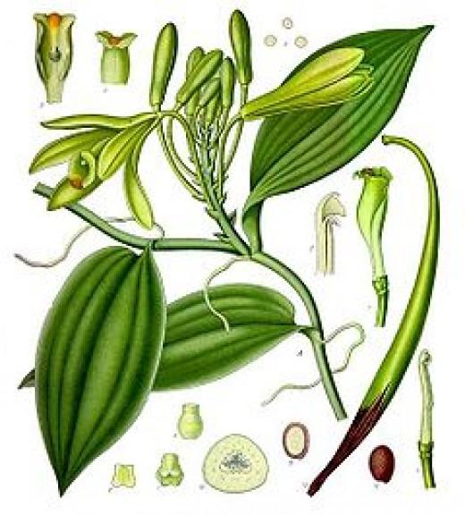Vanilla planifolia.