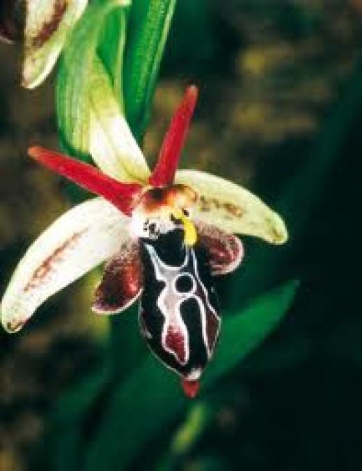 A Greek species of Orphys genus.