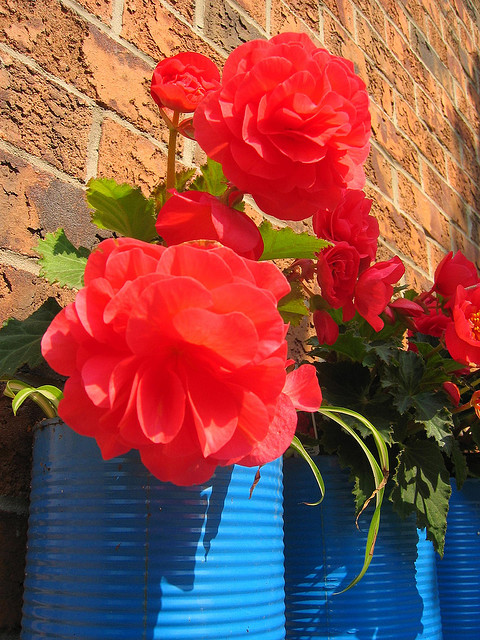 Begonias in a pizza sauce can