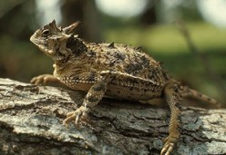 What is so interesting about a horned toad?
