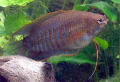 Tropical fish: Gouramis are bubble-nest breeders and labyrinth fish