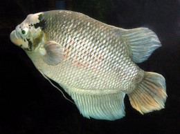 Giant Gourami adult